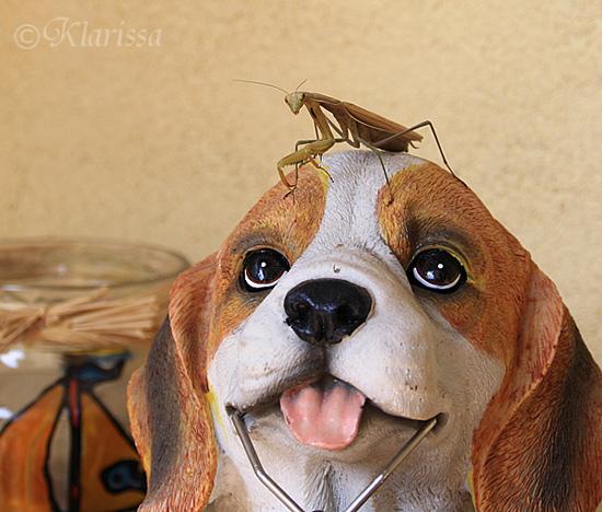 Gottesanbeterin auf dem Beagle