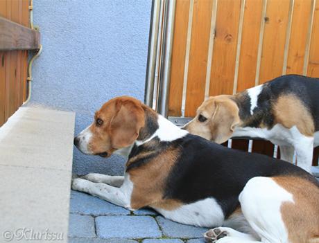 """Beagles beim """"Katzenfernsehen"""""""