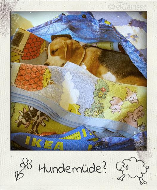 Summer-Beagle