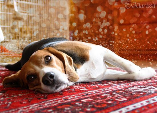 Carry - Beagle