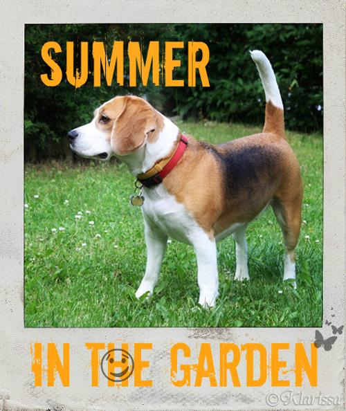 Beagle SUMMER