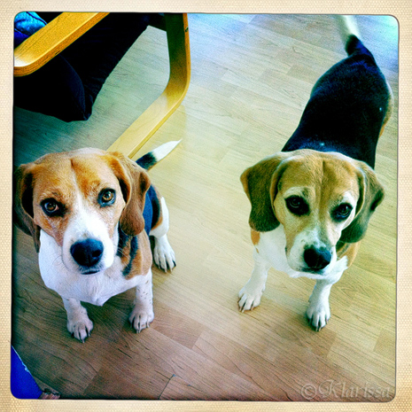 Die Beagles VOR der Küche...