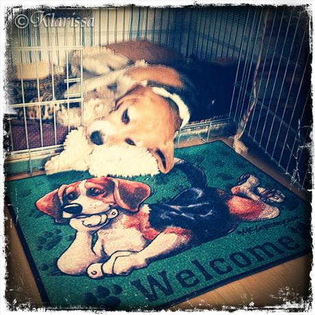 Beaglematte