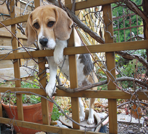 Beagle LISSA im Rankgerüst