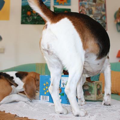 uuups... Beagle am Tisch
