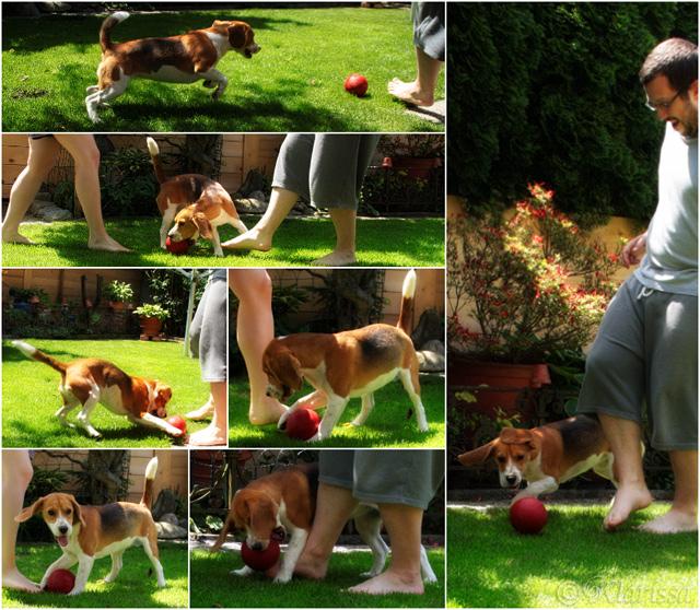 Junges Beaglemädchen mit Ballgefühl! 2014