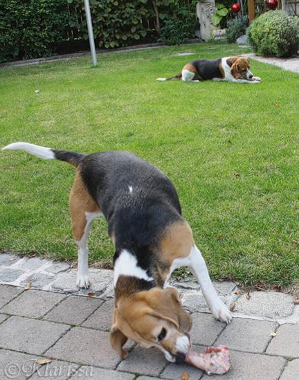 meine Beagleraubtiere ;)