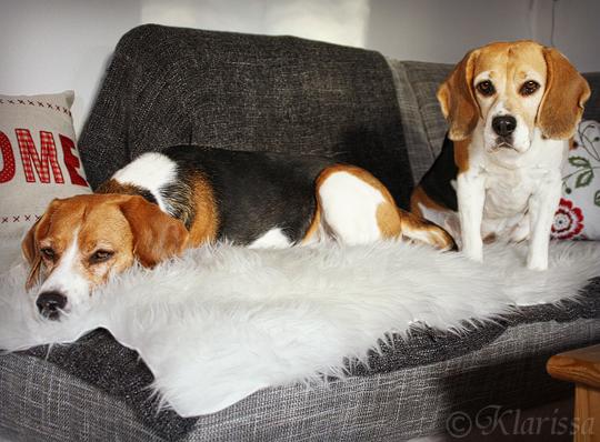 Beagles auf Ikea