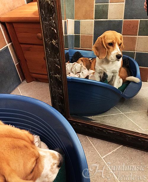 Spiegelbeagle
